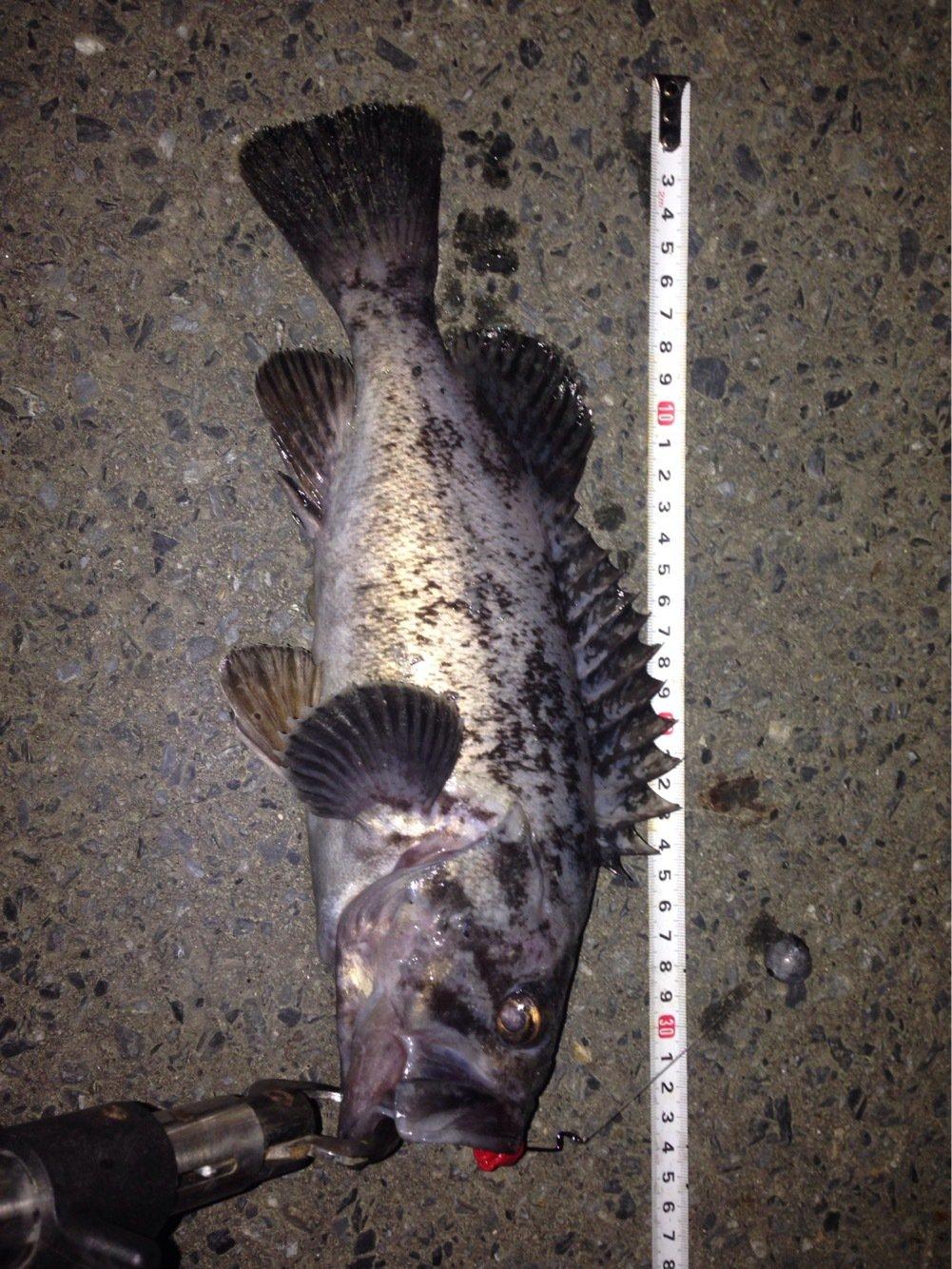 かめさんの投稿画像,写っている魚はソイ