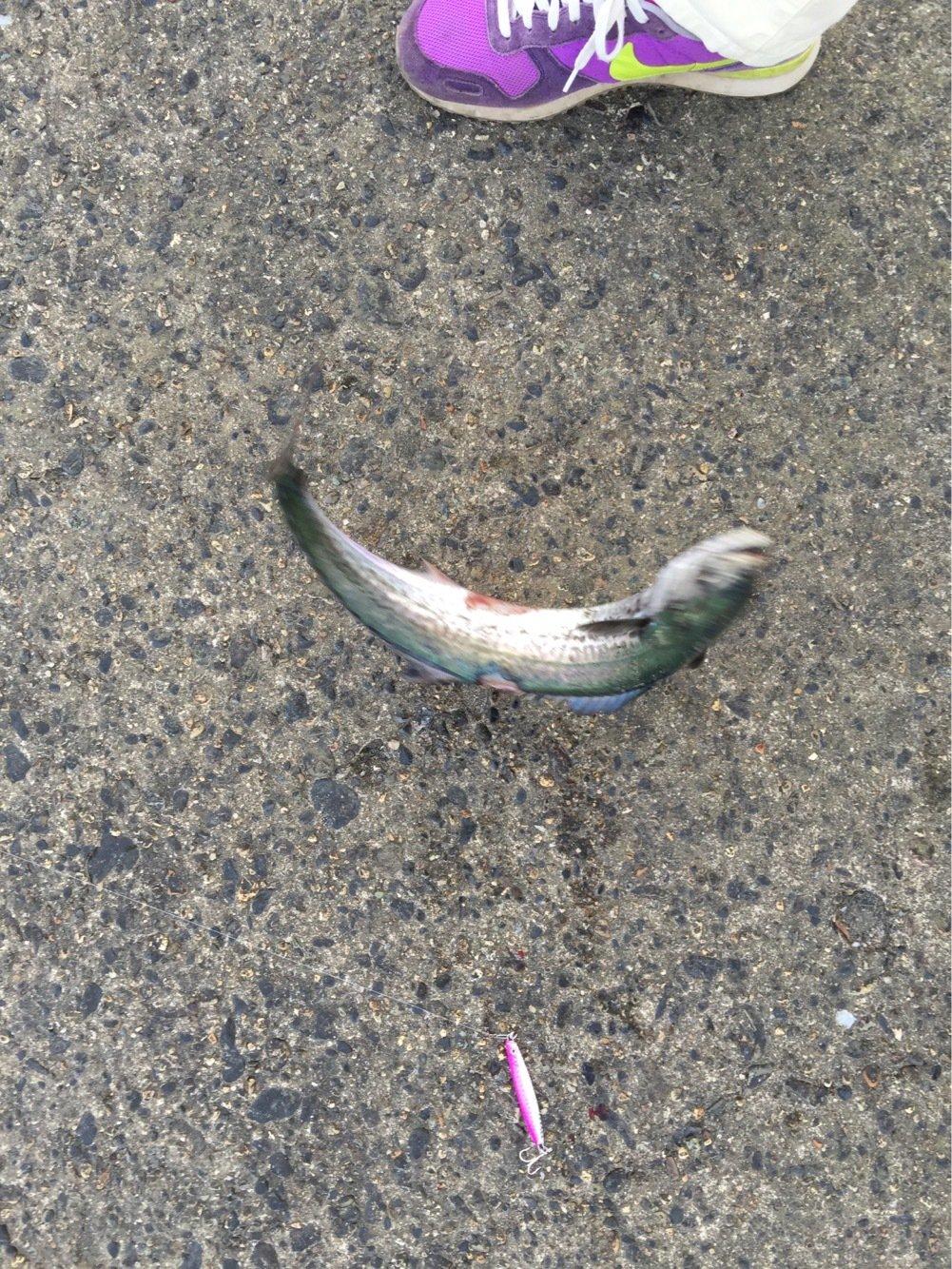 ピノこりマウスさんの投稿画像,写っている魚はサワラ
