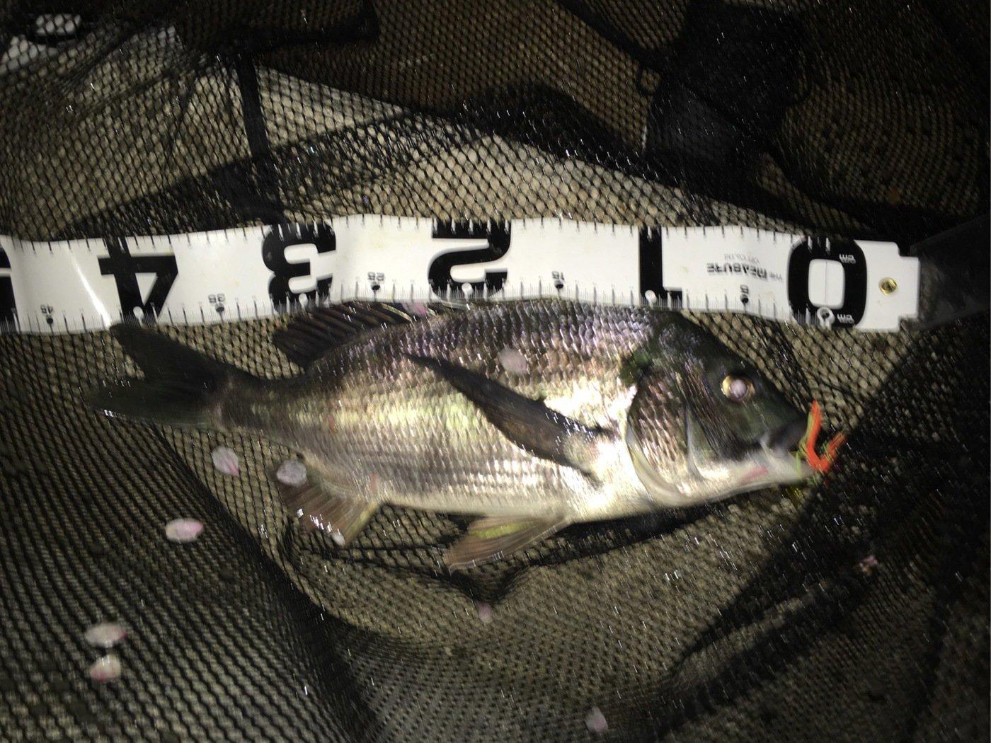 似島の住人さんの投稿画像,写っている魚はクロダイ