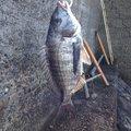 ゆさんの愛知県東海市でのクロダイの釣果写真