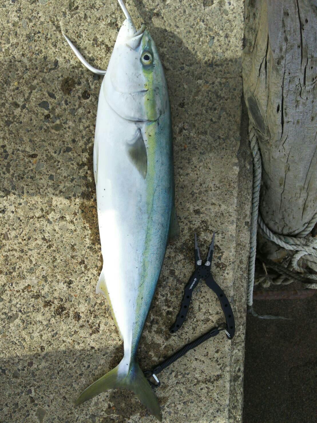 成田さんの投稿画像,写っている魚はワラサ