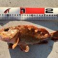 D子さんの鹿児島県出水郡でのカサゴの釣果写真