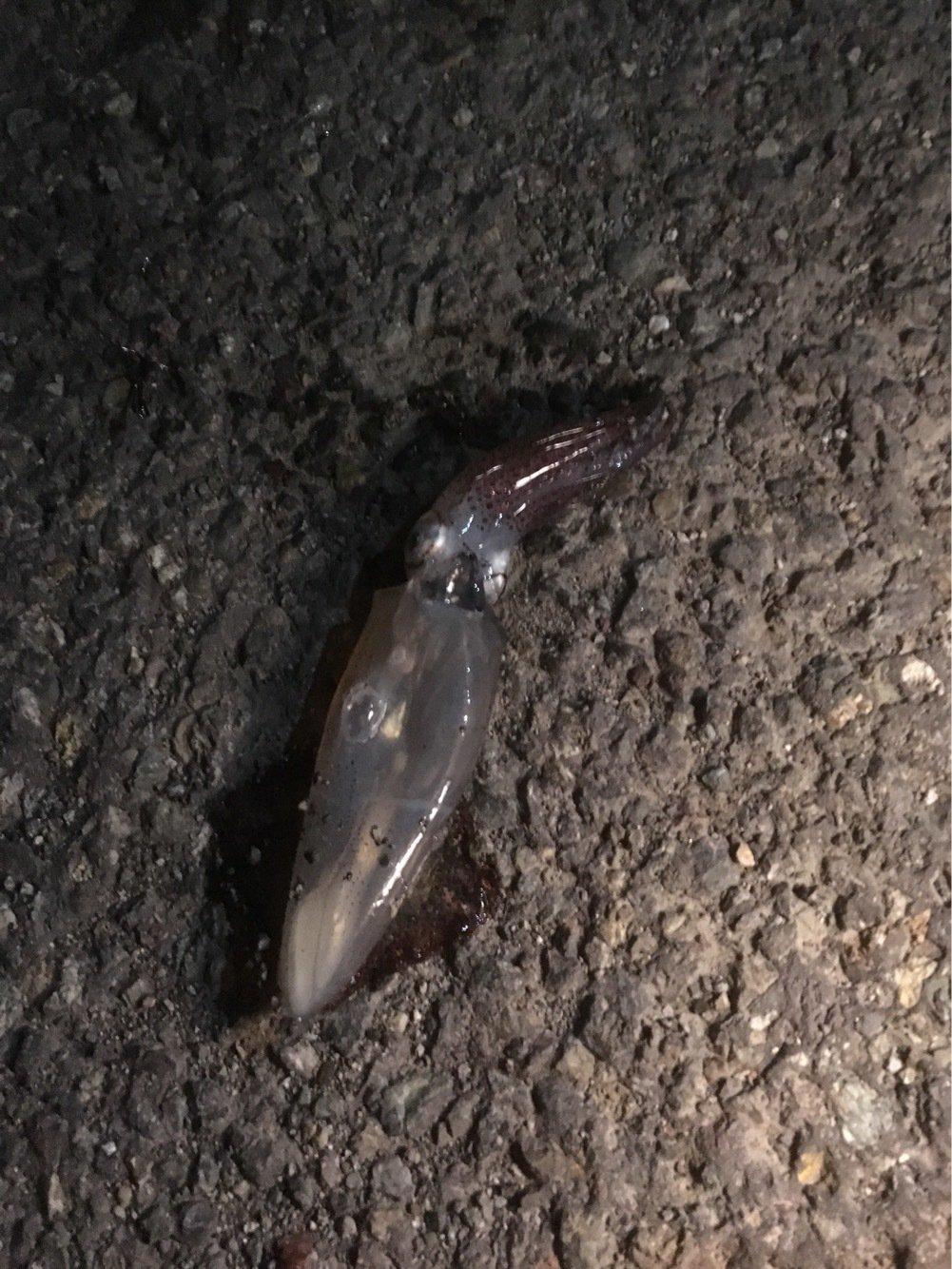 frienes-hideさんの投稿画像,写っている魚はジンドウイカ