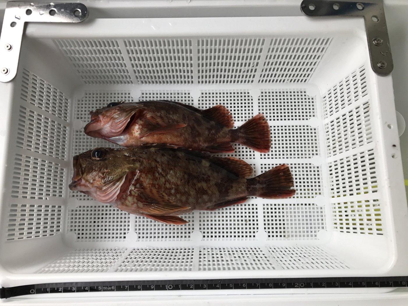 ひでさんの投稿画像,写っている魚はカサゴ