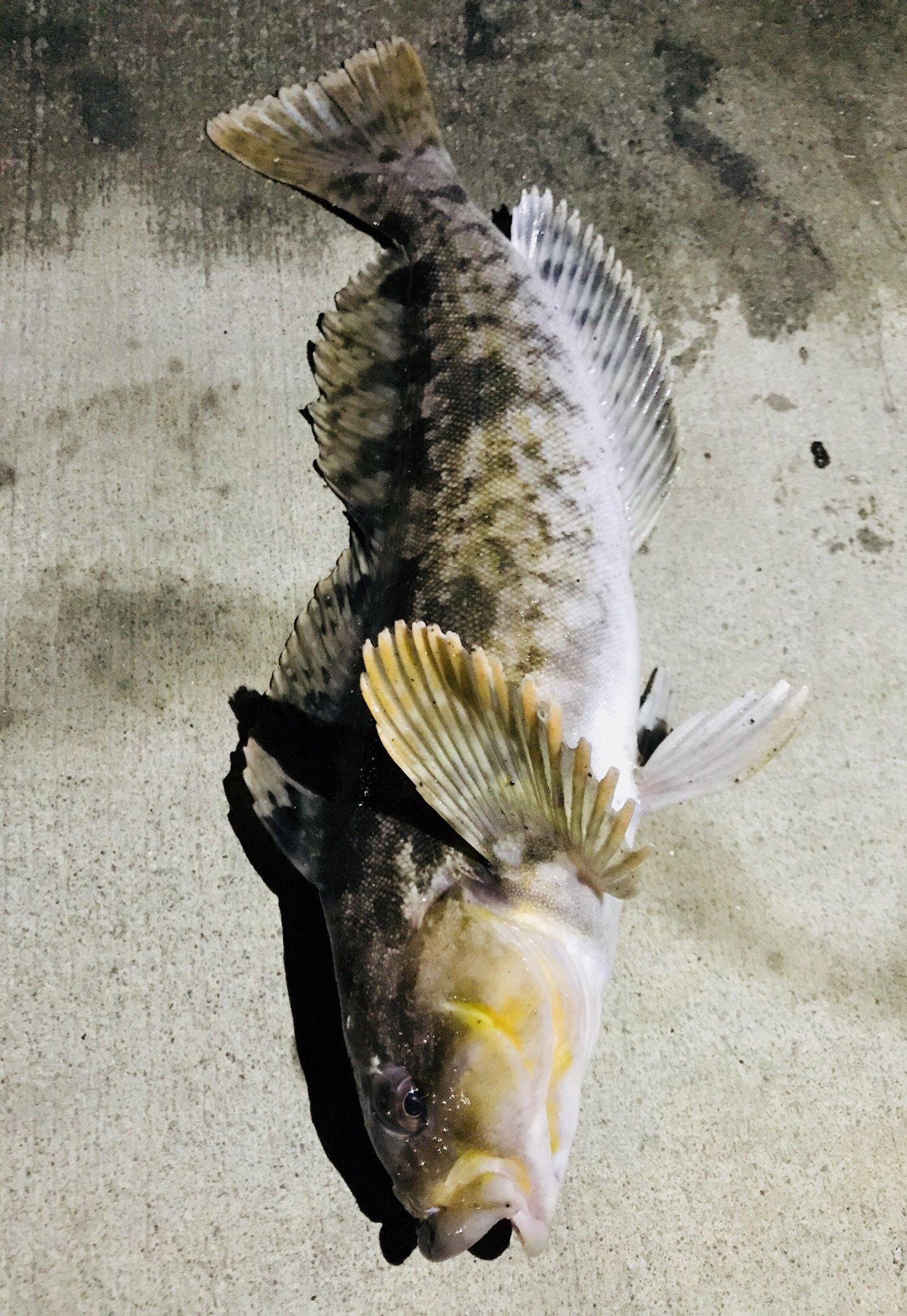 ゆりさんの投稿画像,写っている魚はアイナメ