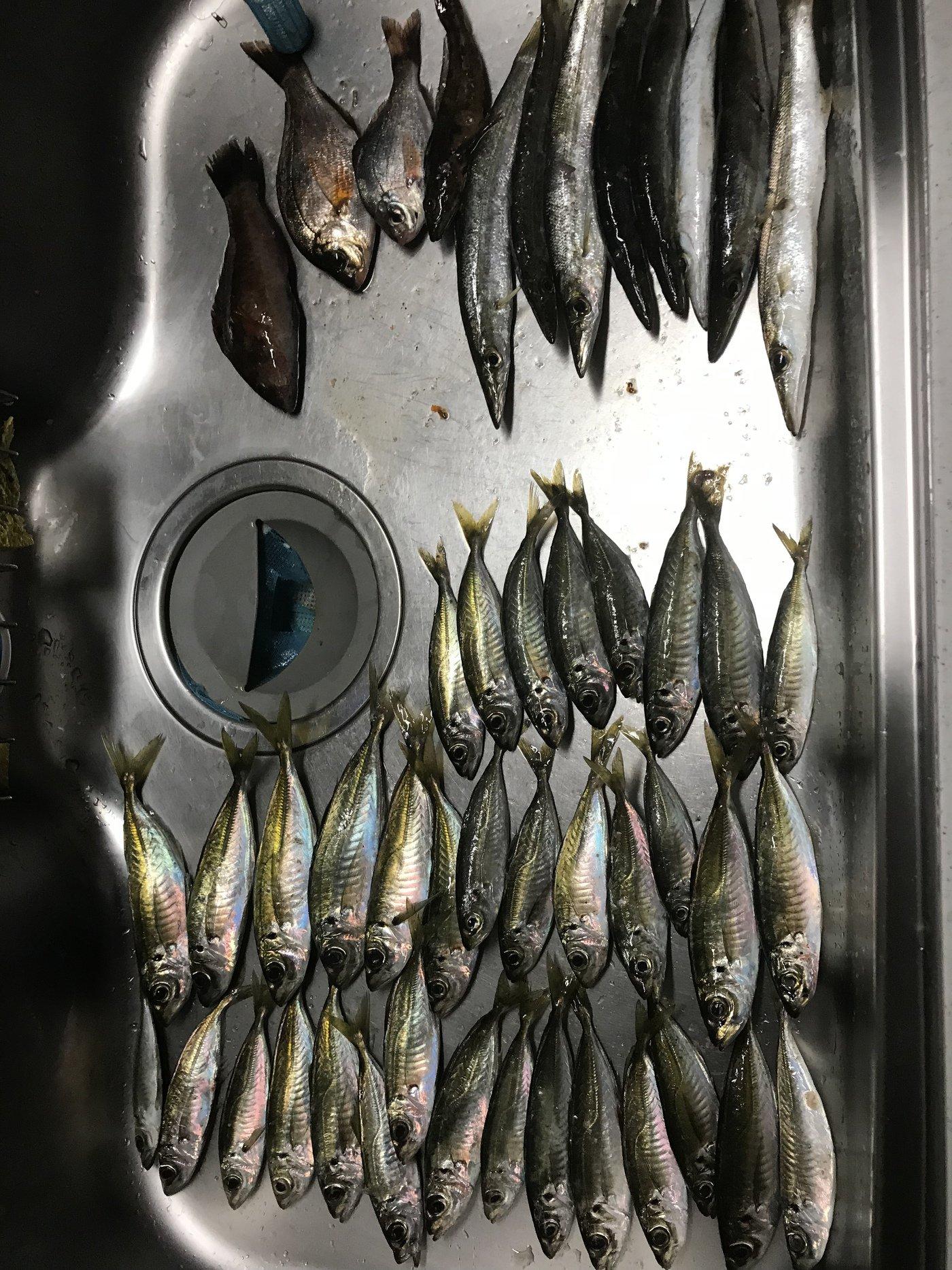 金(きん)さんの投稿画像,写っている魚はアジ,カマス,