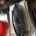 YDさんのマグロの釣果写真