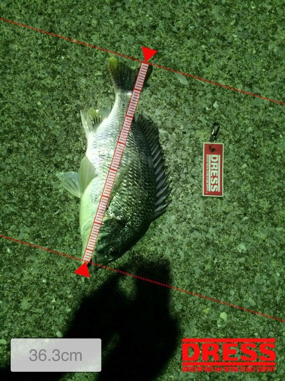 Shinさんの投稿画像,写っている魚はクロダイ