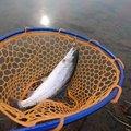 かぜますさんの岩手県八幡平市での釣果写真