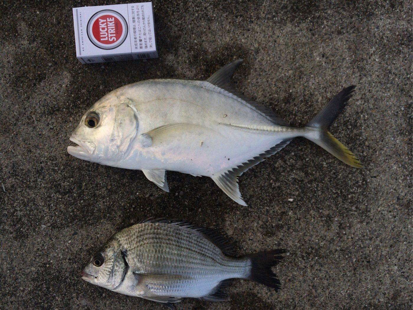 だいだいさんの投稿画像,写っている魚はロウニンアジ
