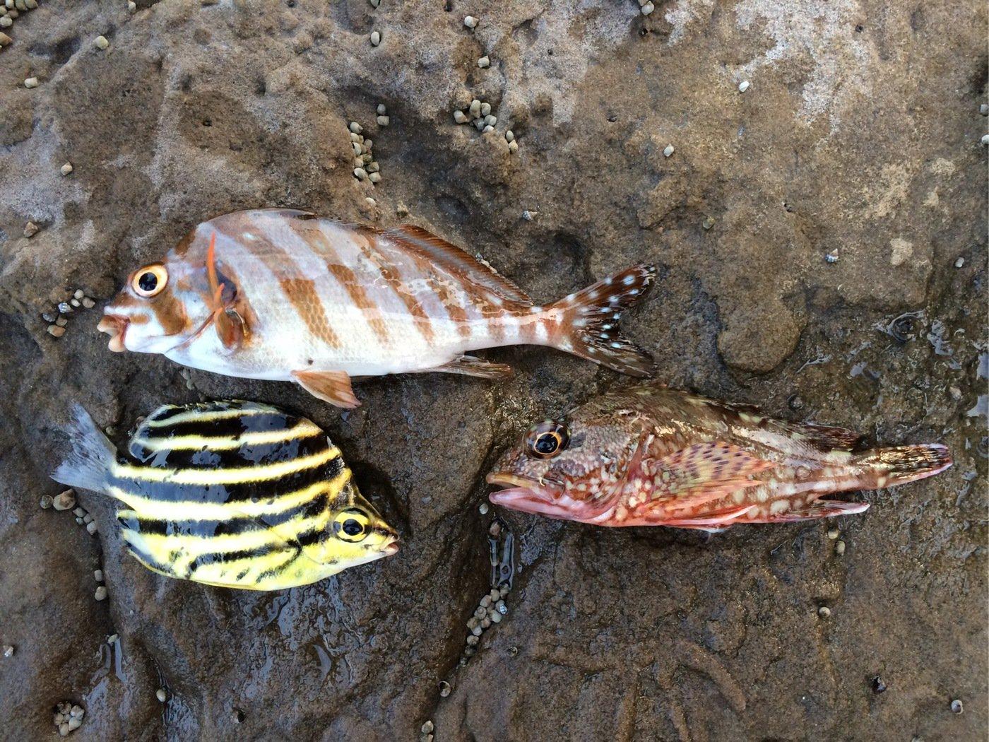 うーまんさんの投稿画像,写っている魚はカサゴ