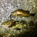 フィッシャーさんの神奈川県逗子市でのカサゴの釣果写真
