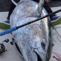 Satoさんのマグロの釣果写真