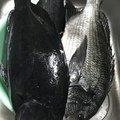 Hide Sasaさんの千葉県大網白里市での釣果写真