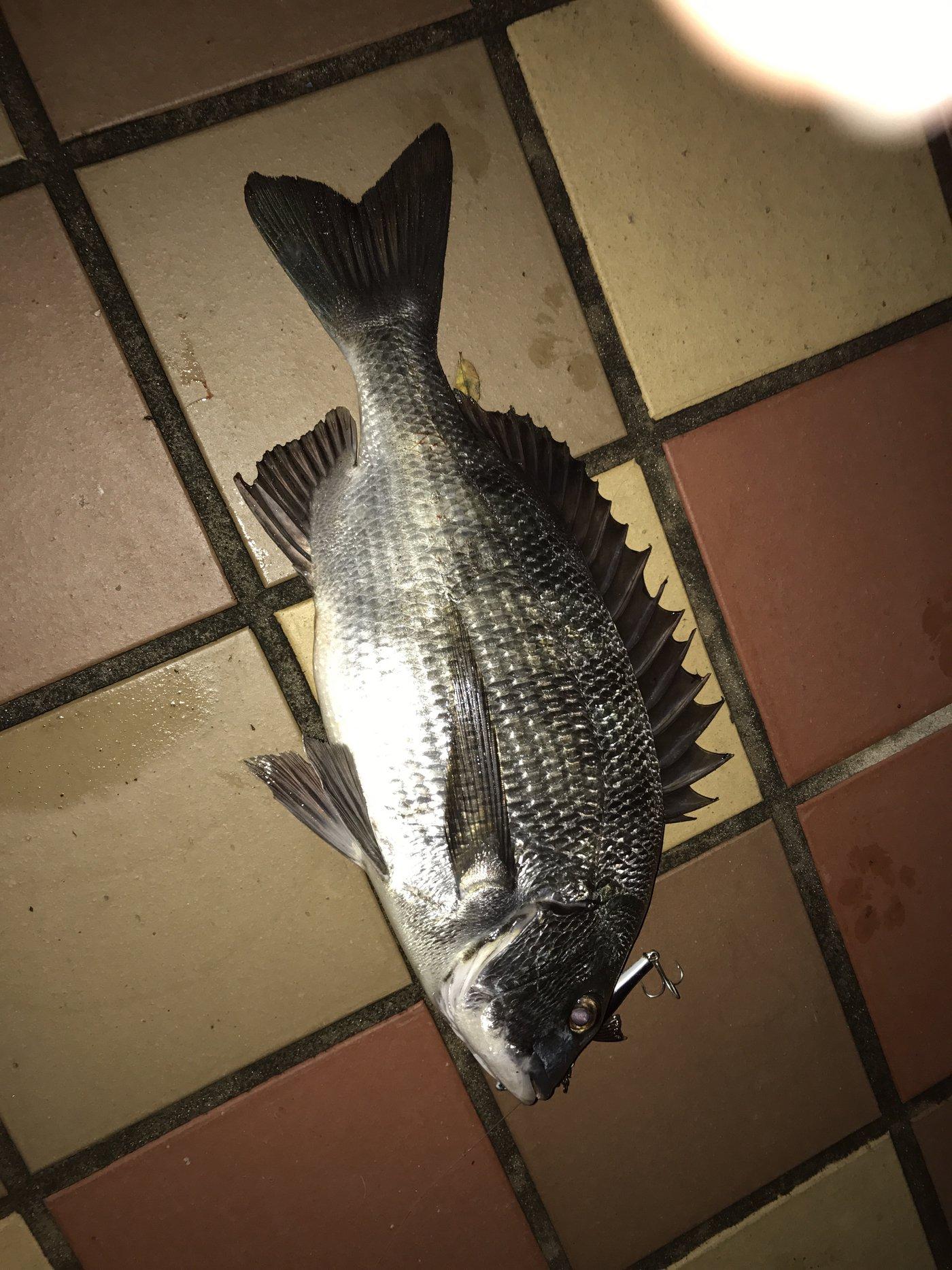 mizzさんの投稿画像,写っている魚はクロダイ