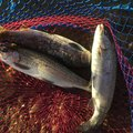 シーアツさんの栃木県栃木市での釣果写真