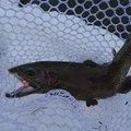 田村ゆかりさんの岩手県滝沢市での釣果写真