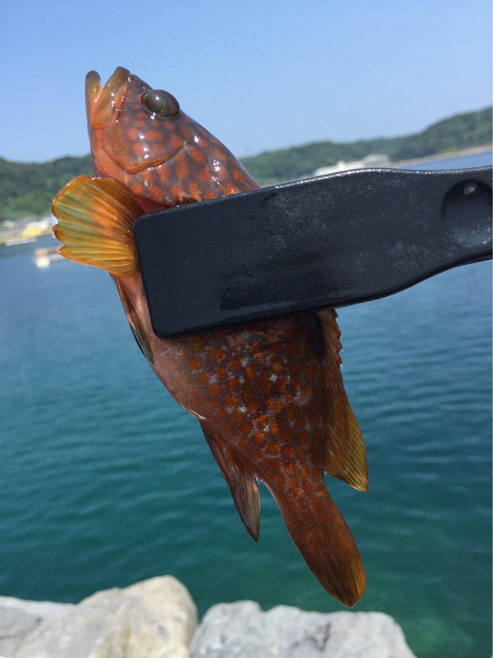 カズワタベさんの投稿画像,写っている魚はキジハタ