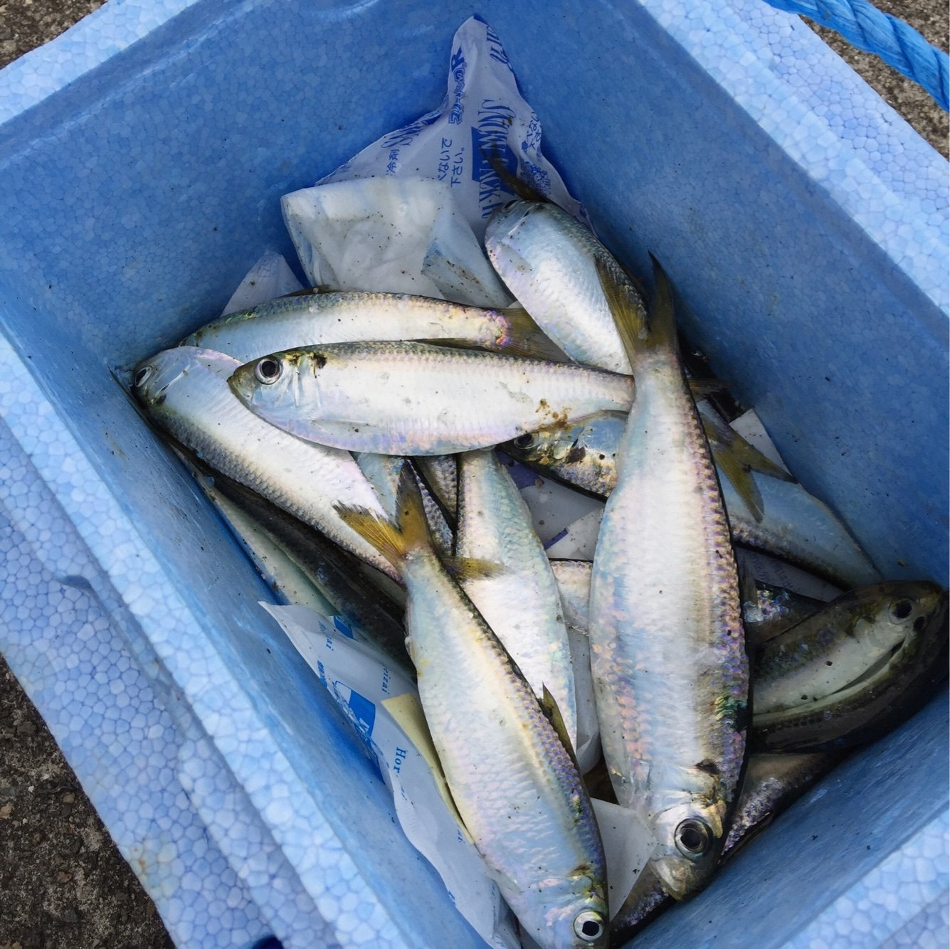 msyさんの投稿画像,写っている魚はサッパ