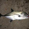 チーターさんさんの鹿児島県大島郡でのギンガメアジの釣果写真