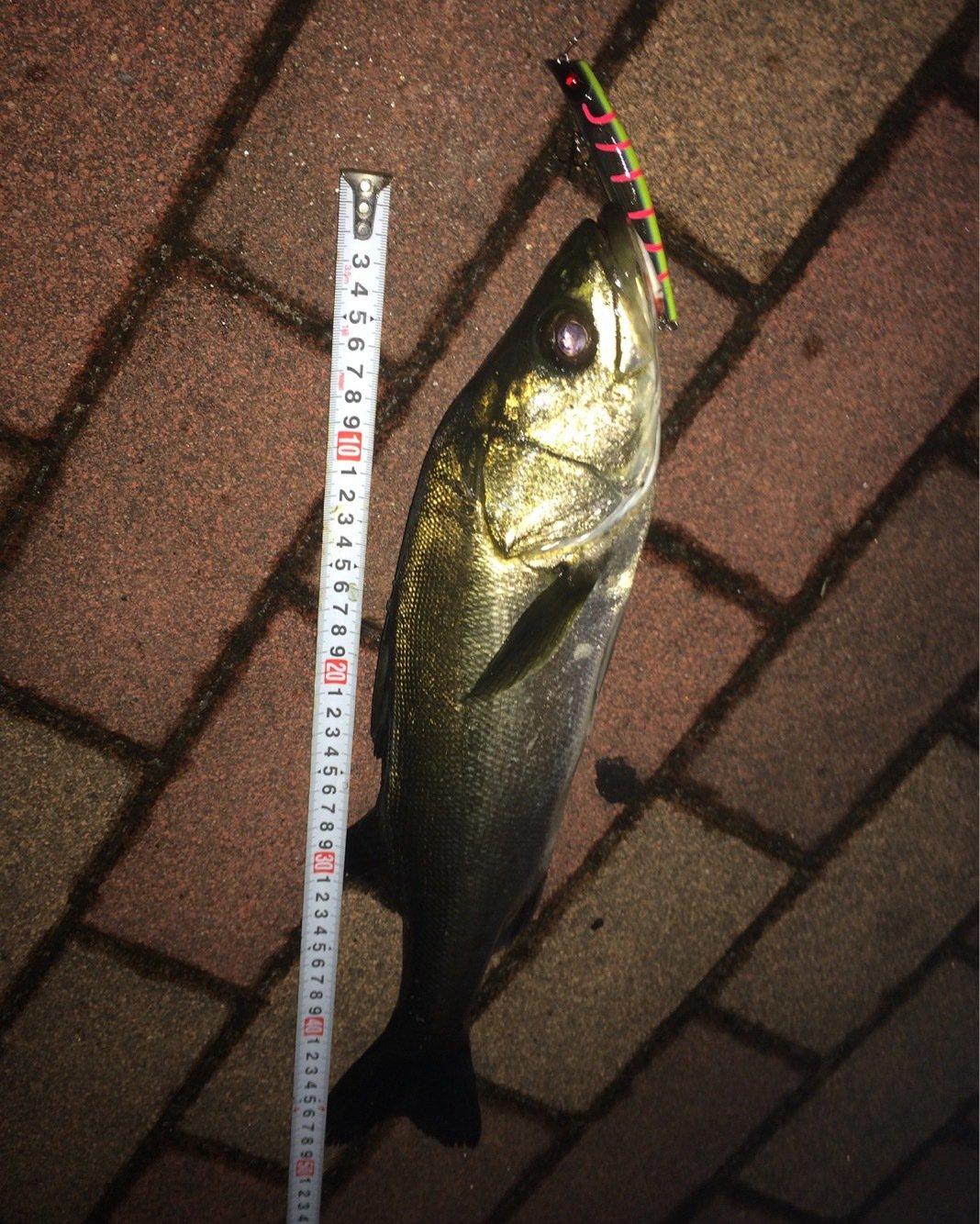 bashixさんの投稿画像,写っている魚はスズキ