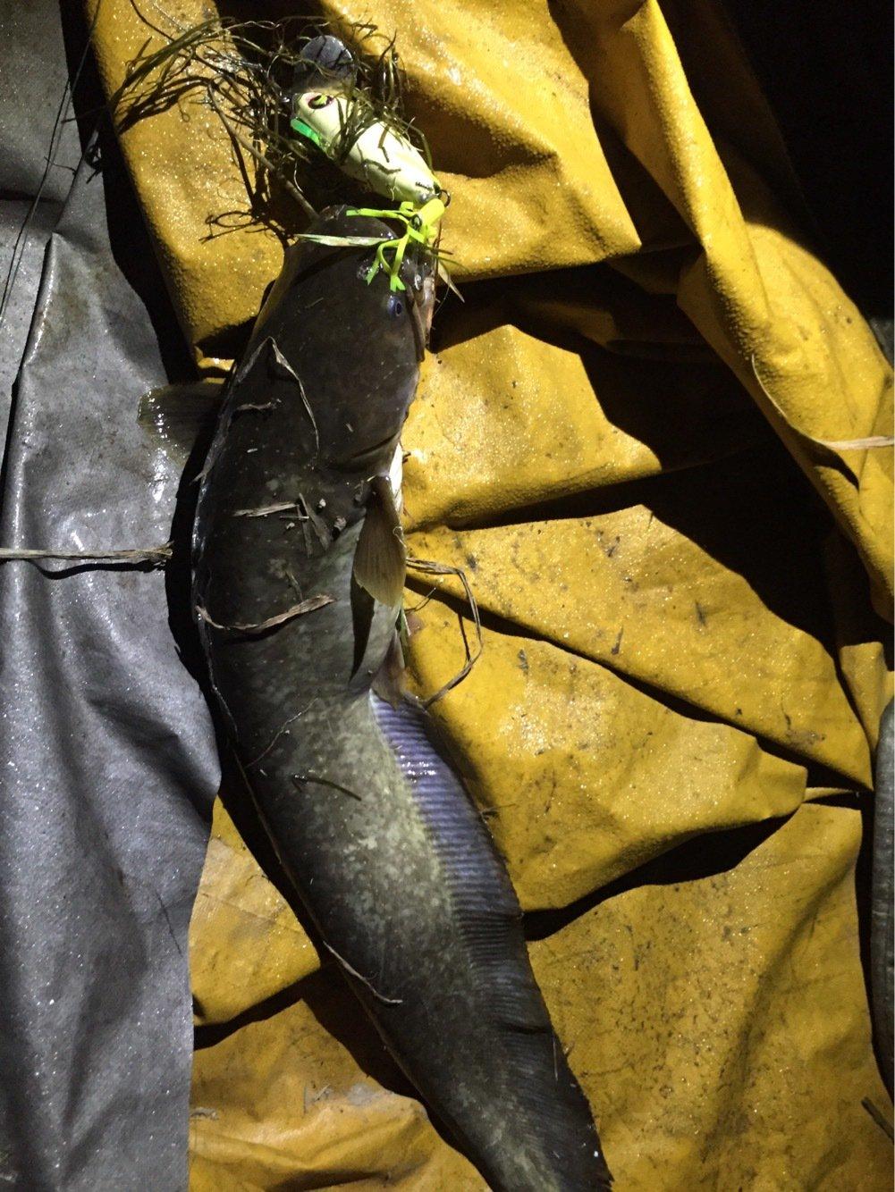 マサさんの投稿画像,写っている魚はナマズ