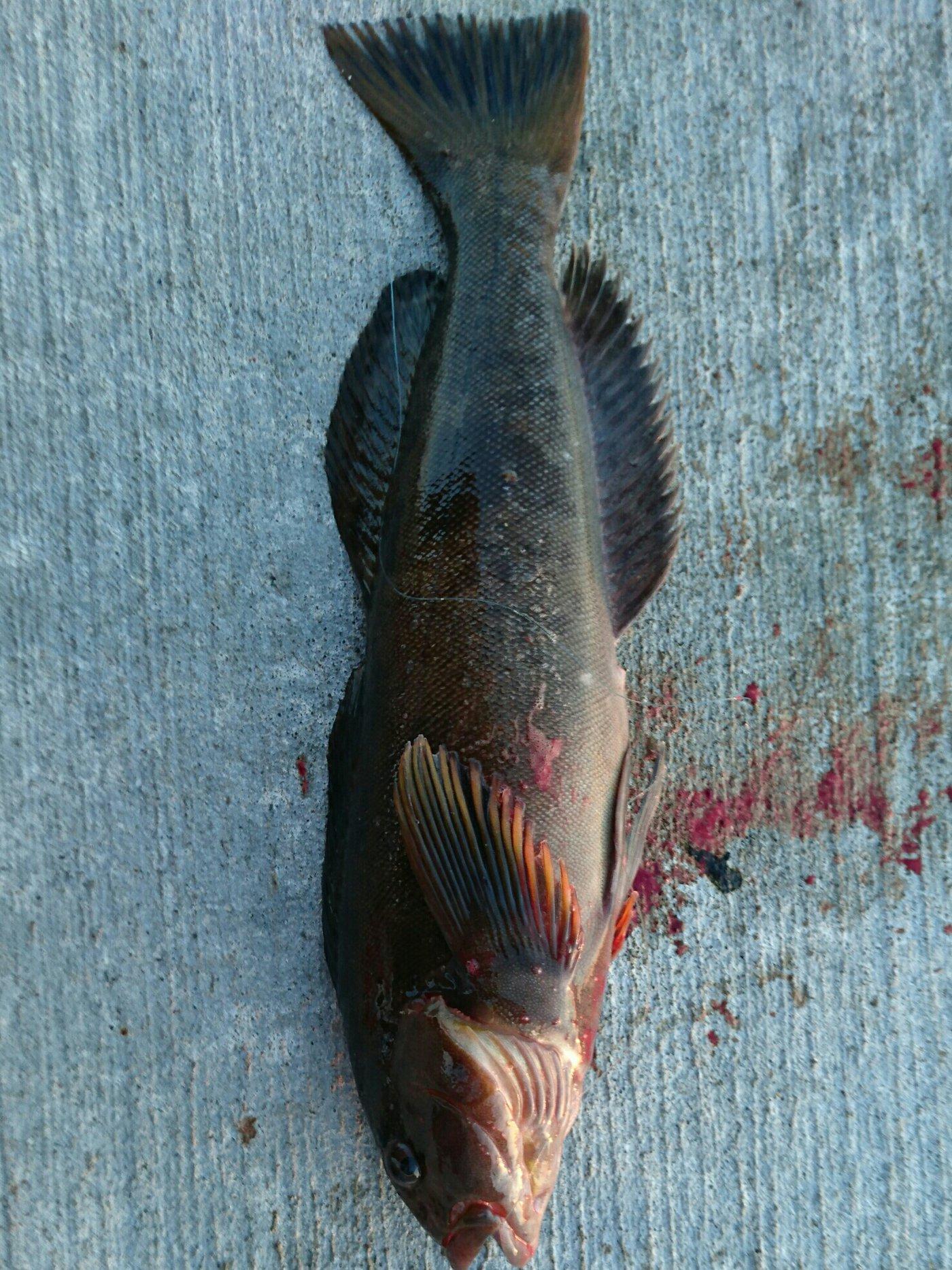 仁志さんの投稿画像,写っている魚はアイナメ
