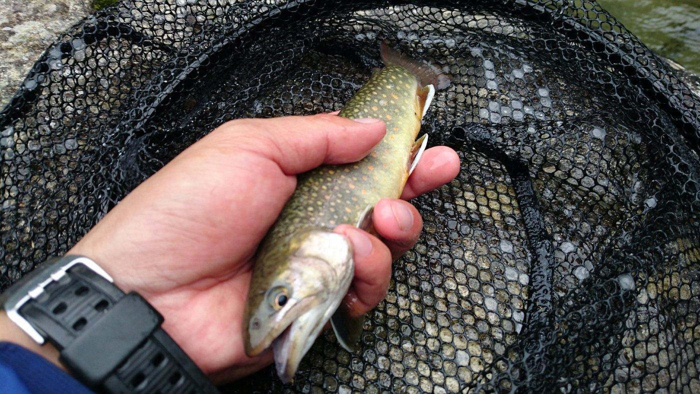 yataさんの投稿画像,写っている魚はイワナ