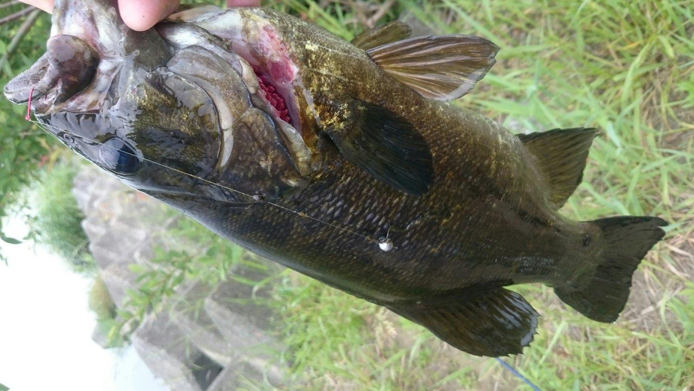 デッドプールさんの投稿画像,写っている魚はスモールマウスバス