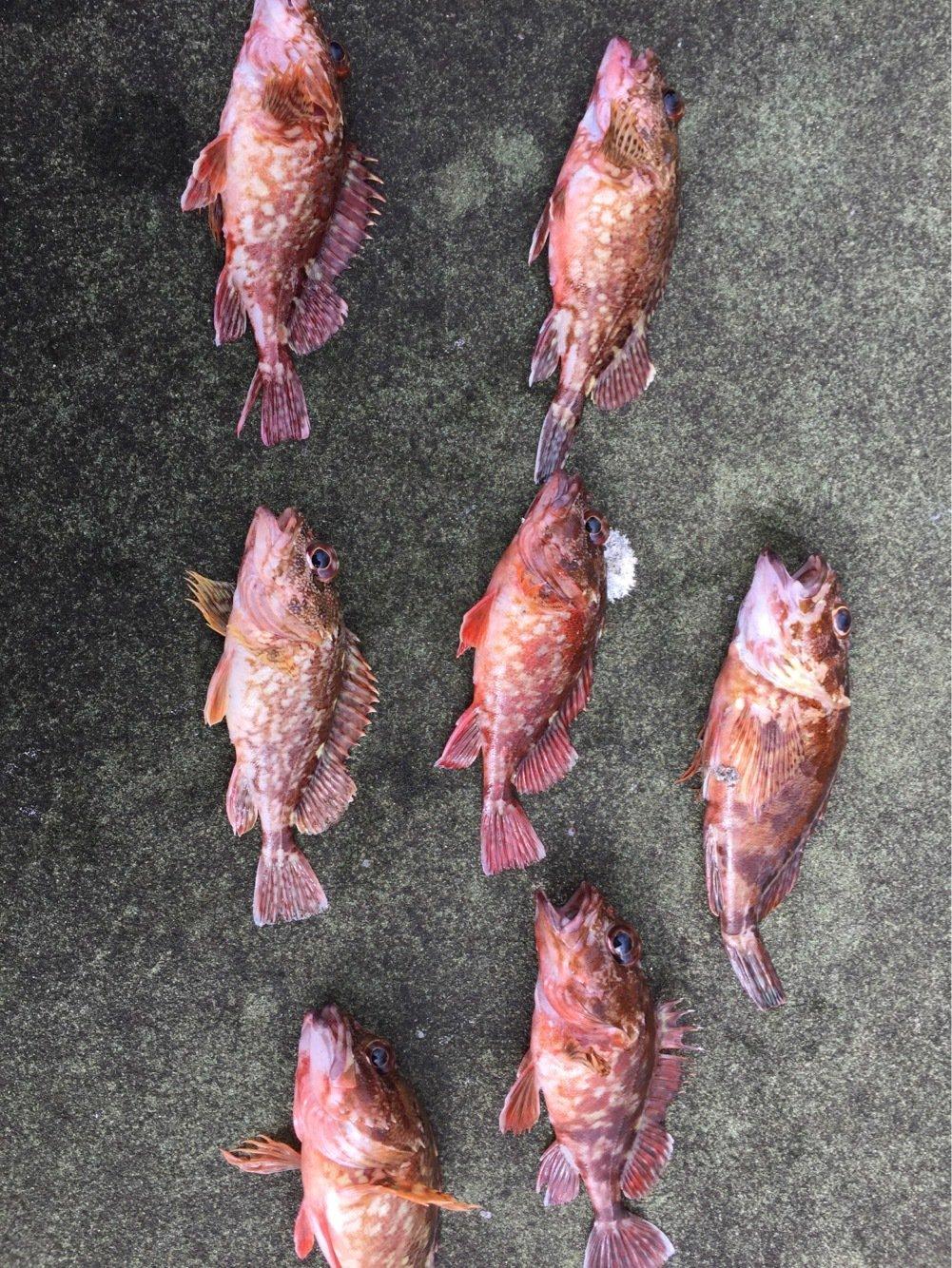 ルアー人in大分さんの投稿画像,写っている魚はアカカサゴ