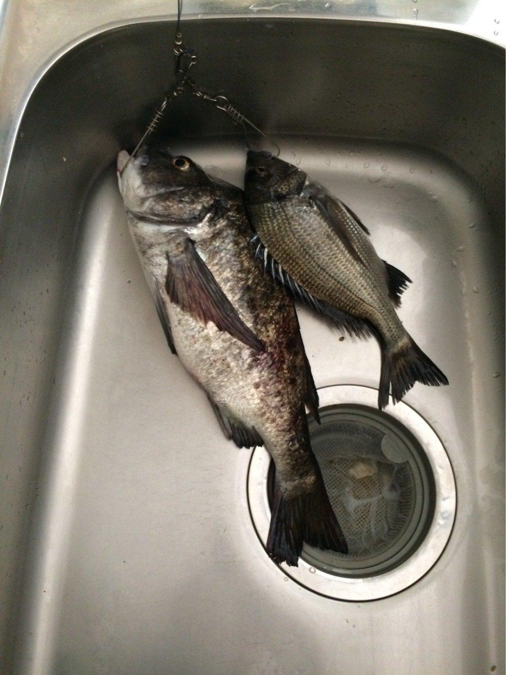 みやそうさんの投稿画像,写っている魚はクロダイ