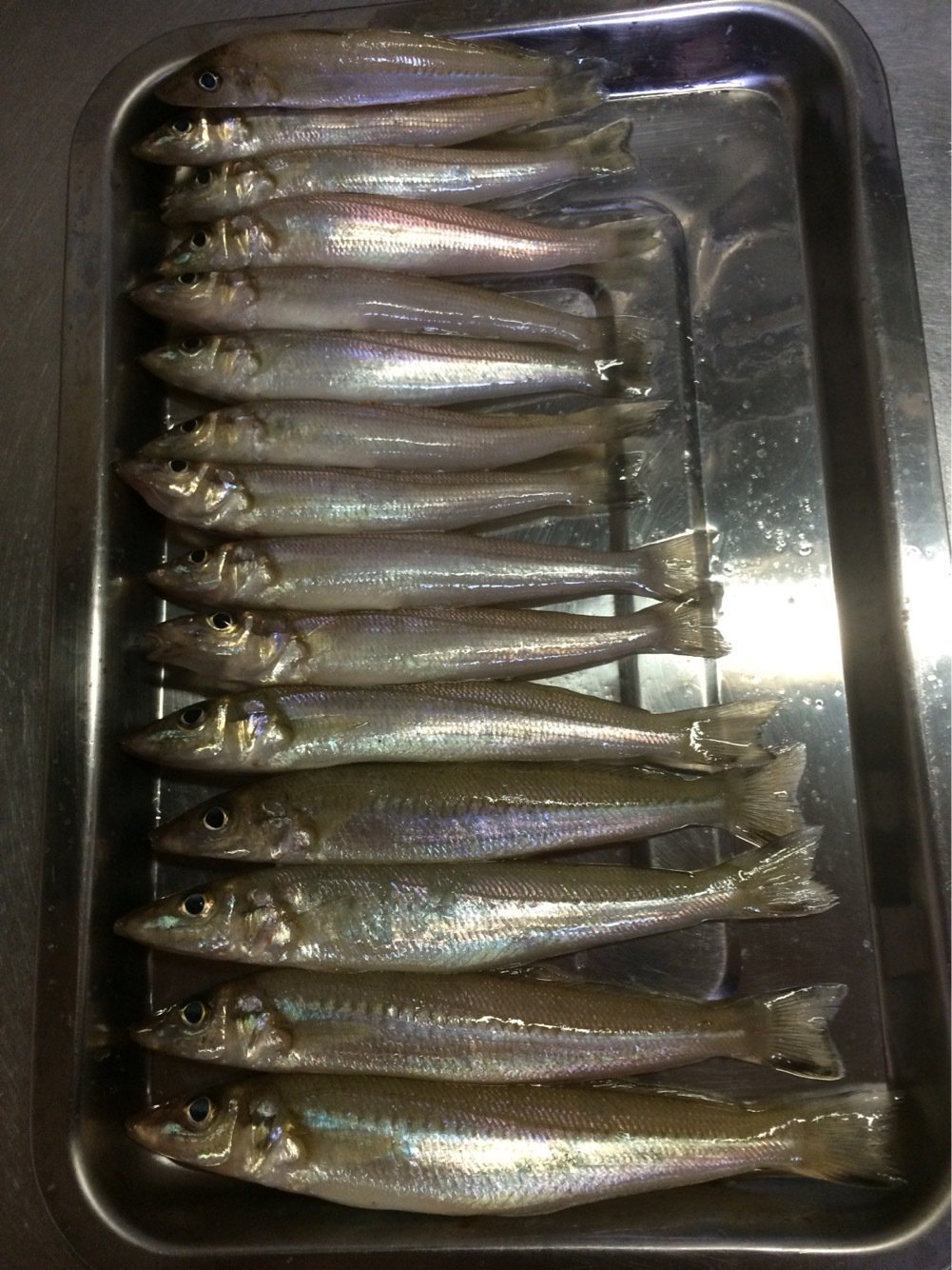 Alexさんの投稿画像,写っている魚はシロギス