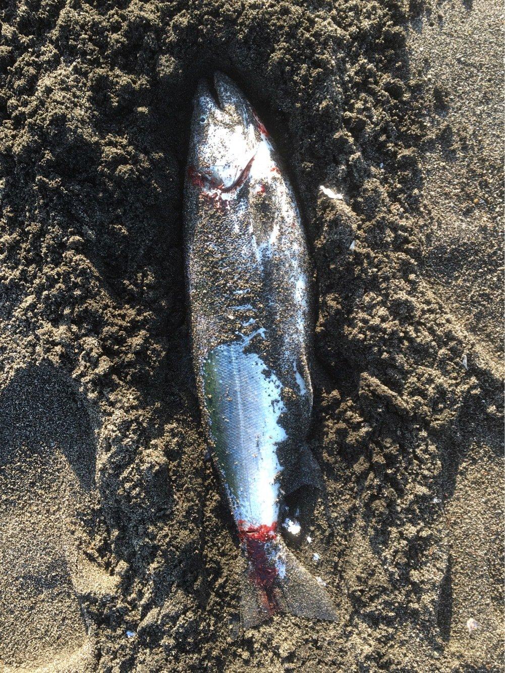 frienes-hideさんの投稿画像,写っている魚はサクラマス