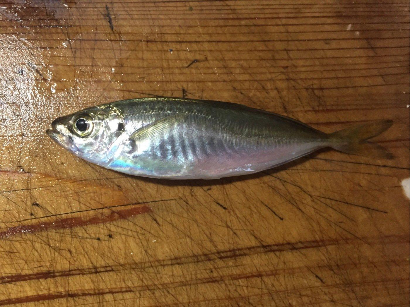 よーちんさんの投稿画像,写っている魚はアジ