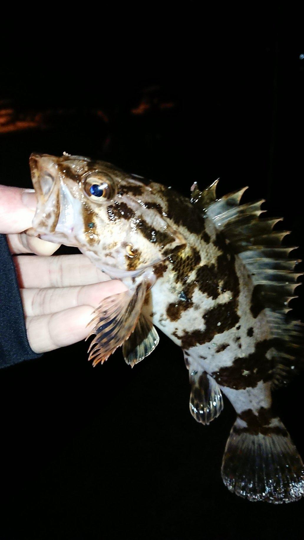 健人さんの投稿画像,写っている魚はタケノコメバル,,メバル,カサゴ