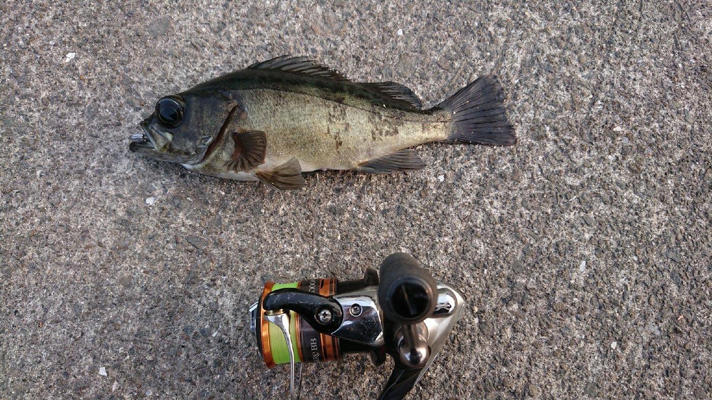 島美人さんの投稿画像,写っている魚はメバル