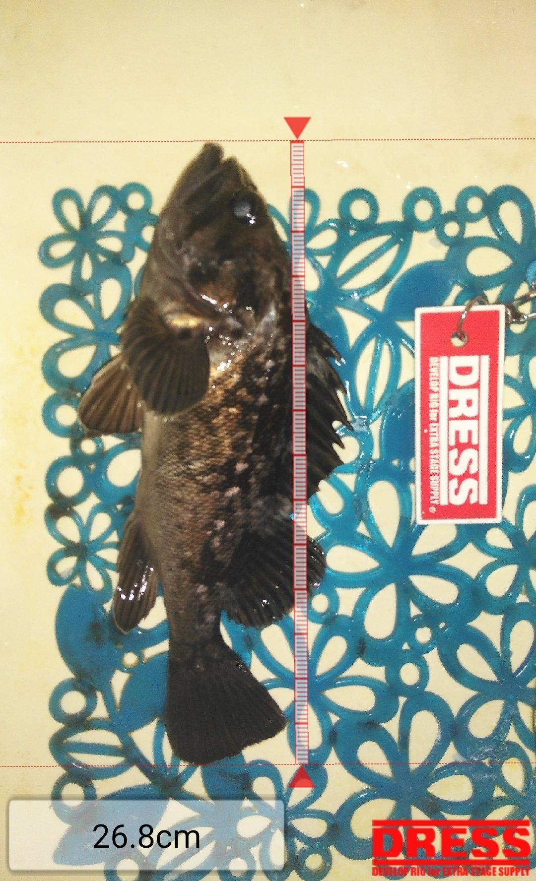 TOMOさんの投稿画像,写っている魚はクロソイ