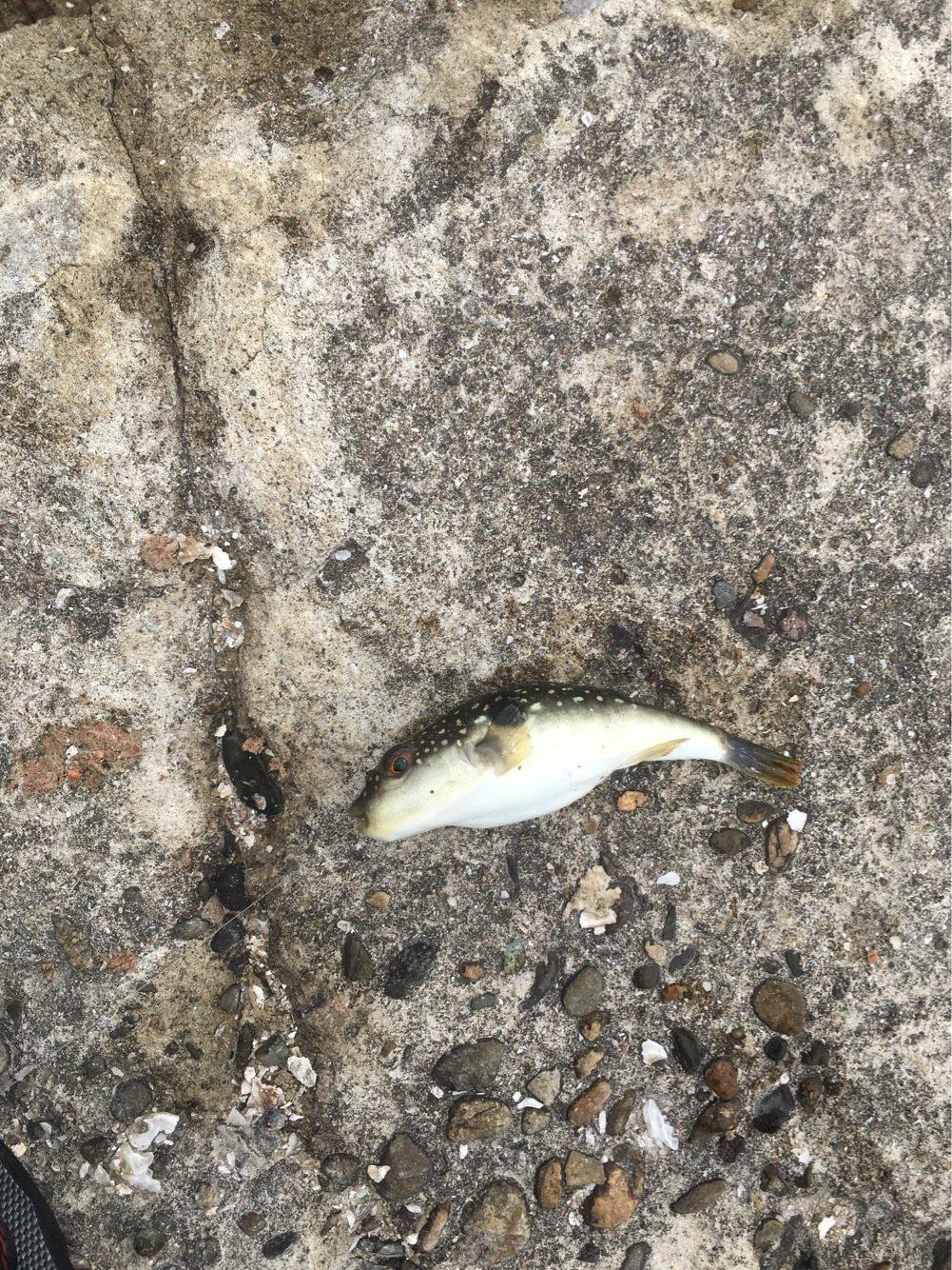 釣りキチこじ平さんの投稿画像,写っている魚はクサフグ