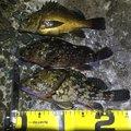 3号さんの神奈川県鎌倉市でのカサゴの釣果写真