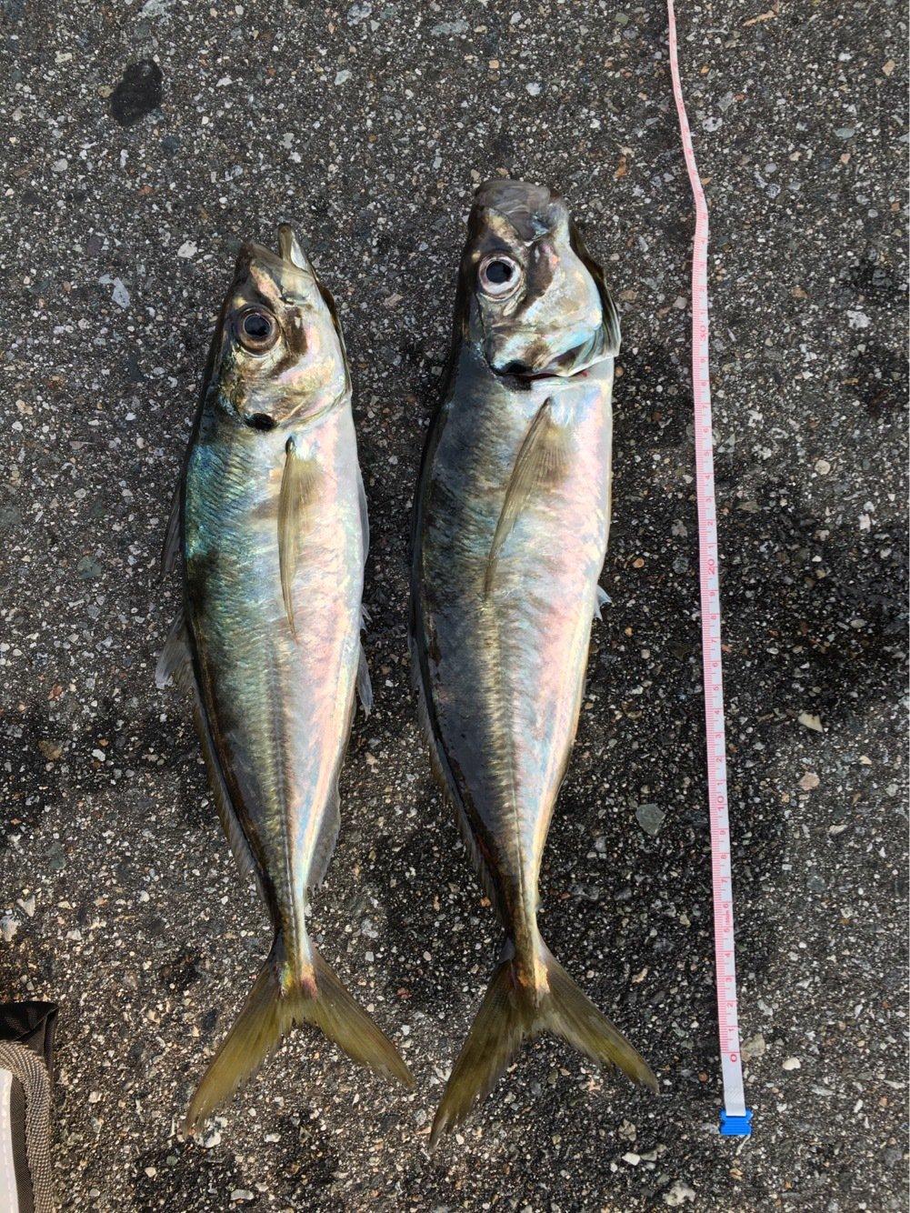 powlandさんの投稿画像,写っている魚はアジ