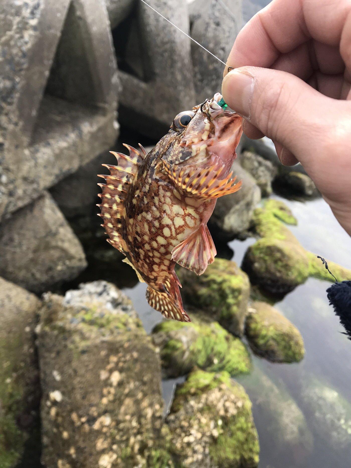 ペーペー釣人さんの投稿画像,写っている魚はカサゴ