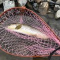 matshさんの長野県安曇野市での釣果写真