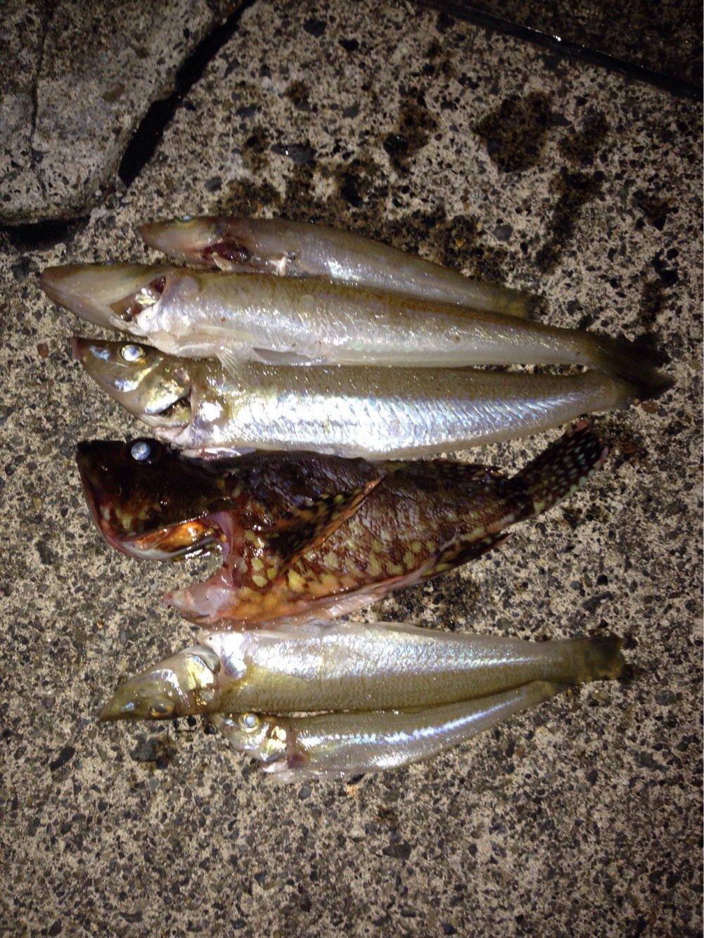 パンクンさんの投稿画像,写っている魚はシロギス