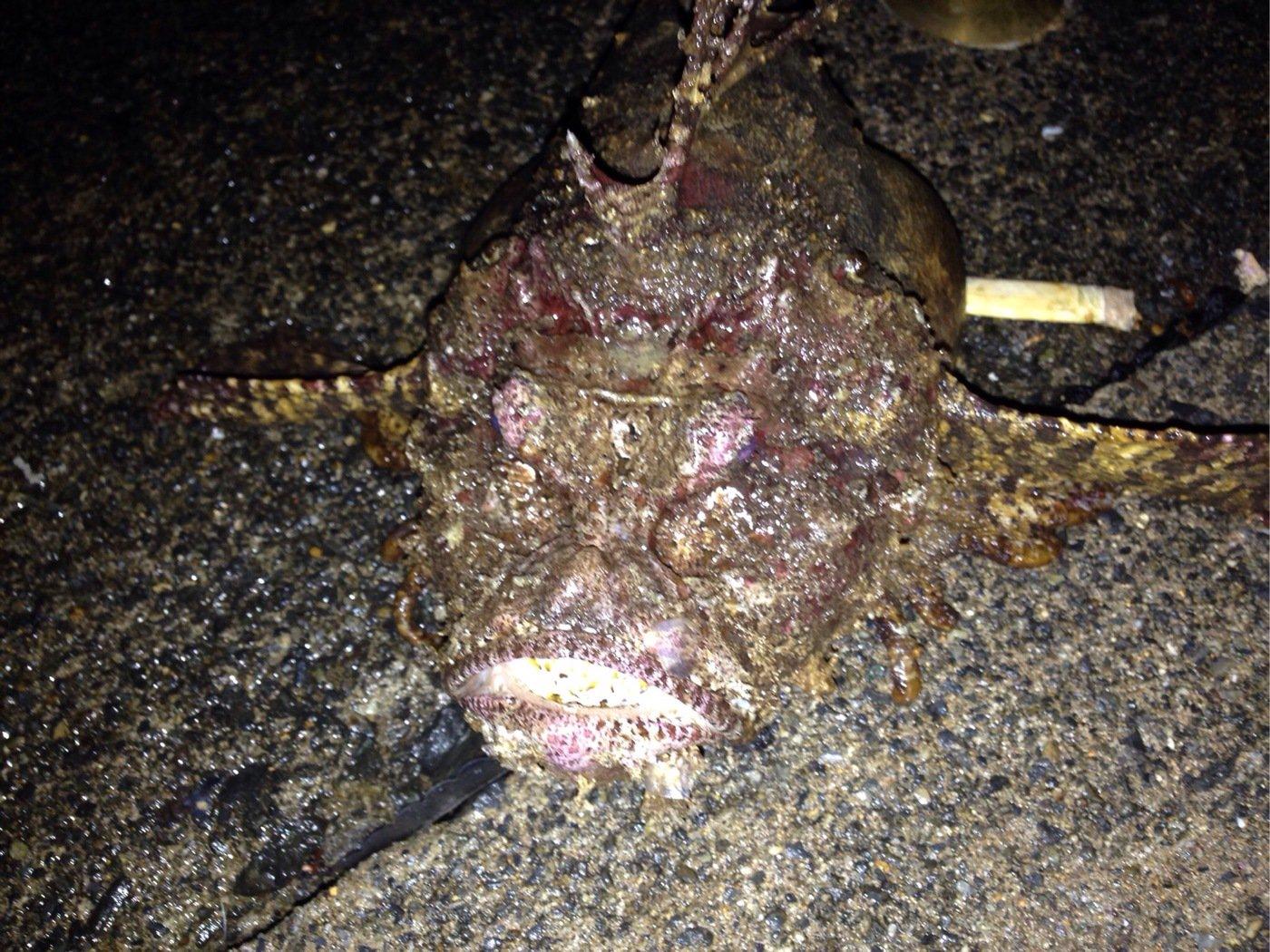 パンクンさんの投稿画像,写っている魚はオニカサゴ