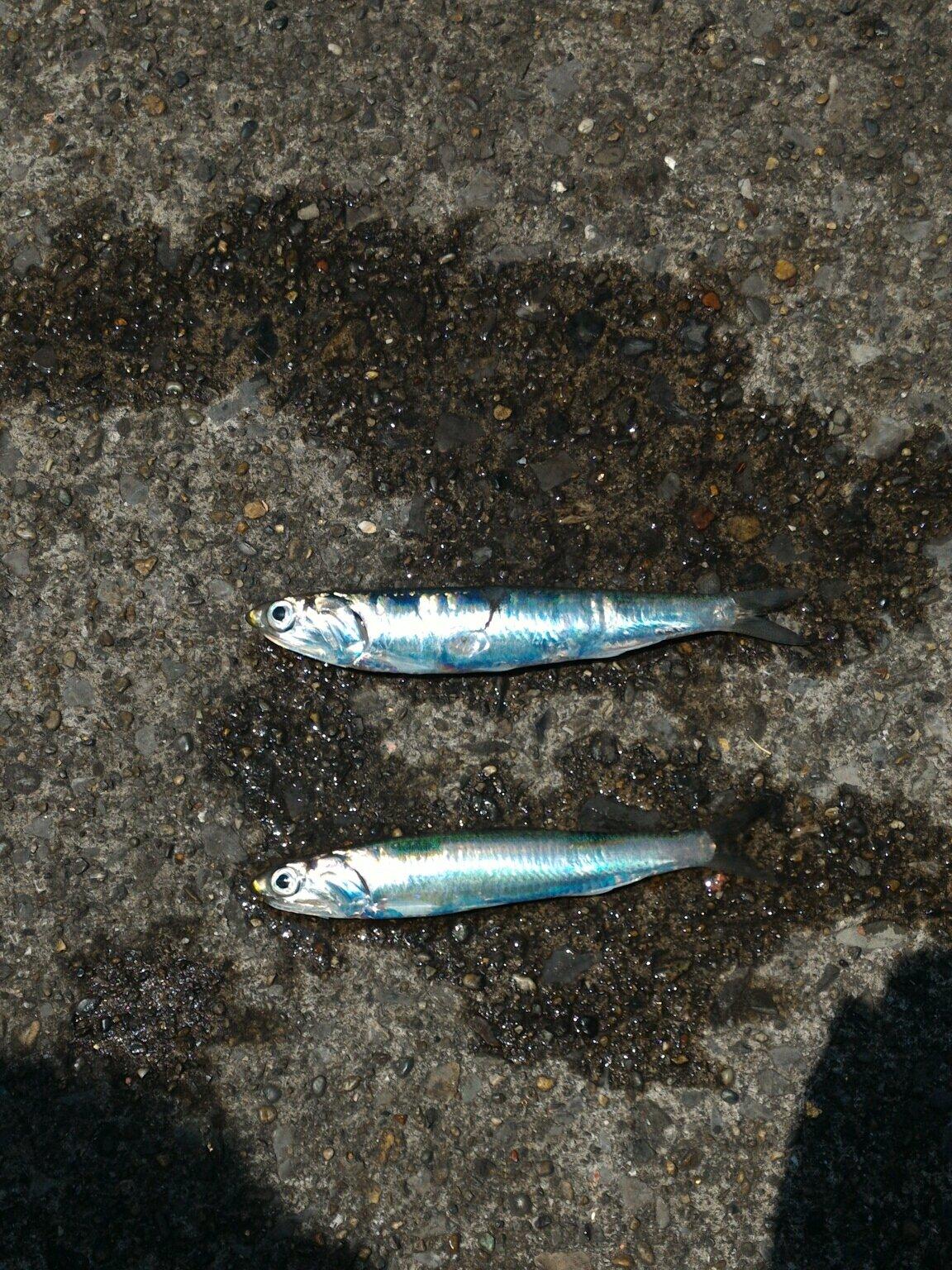 まことさんの投稿画像,写っている魚はマイワシ