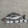 MOKOさんの福岡県糸島市でのクロダイの釣果写真