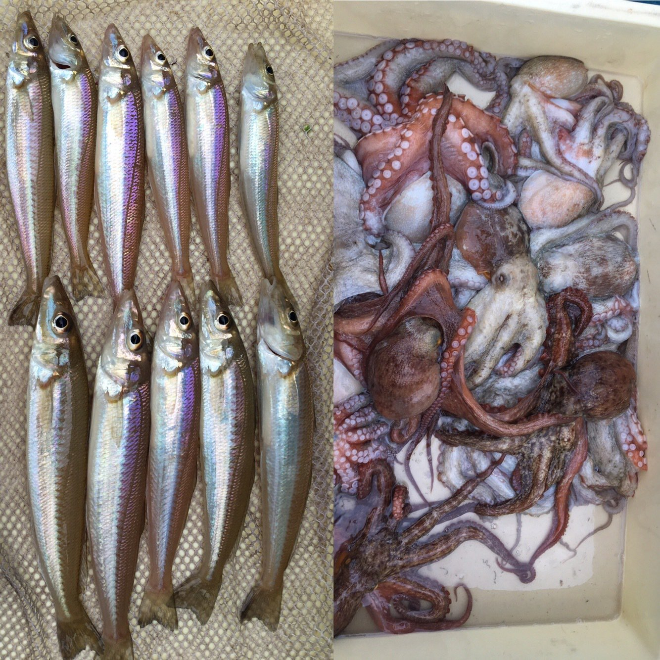 michiさんの投稿画像,写っている魚はシロギス