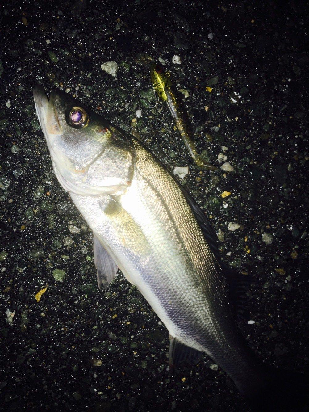 しばさんの投稿画像,写っている魚はスズキ