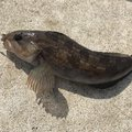 まよさんの宮城県東松島市でのアイナメの釣果写真