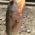 YTS397さんの大分県国東市での釣果写真